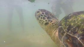 Tartaruga che è alimentata alga dall'uomo locale per intrattenere i turisti stock footage