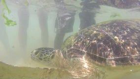 Tartaruga che è alimentata alga dall'uomo locale per intrattenere i turisti archivi video