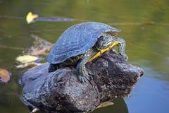Tartaruga che dorme sulla roccia Fotografia Stock Libera da Diritti