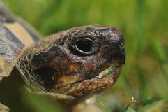 Tartaruga che mangia erba Fotografia Stock Libera da Diritti