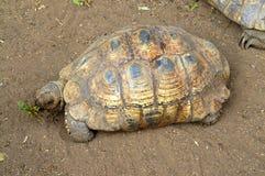 Tartaruga che mangia l'erbaccia del dente di leone Fotografia Stock Libera da Diritti