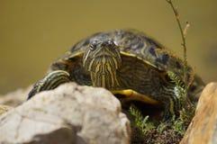 Tartaruga che prende il sole nel sonyshke Immagini Stock Libere da Diritti