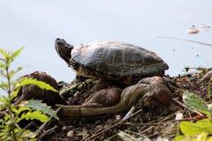 Tartaruga che prende un bagno del sole Immagini Stock