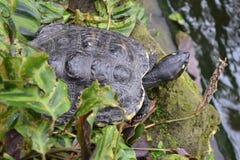 Tartaruga che raffredda sulla riva immagini stock