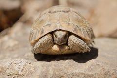 Tartaruga che si nasconde nelle coperture Fotografia Stock Libera da Diritti