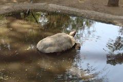 Tartaruga che si raffredda in uno stagno Fotografia Stock Libera da Diritti