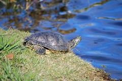 Tartaruga che si siede dal lago Fotografie Stock Libere da Diritti
