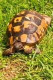 Tartaruga che striscia sull'erba verde Immagini Stock