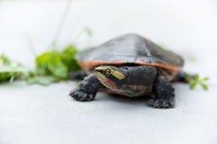 tartaruga a collo corto Rosso-gonfiata Fotografia Stock