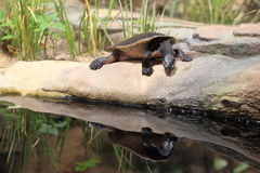 tartaruga a collo corto Rosso-gonfiata Fotografia Stock Libera da Diritti