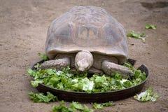 Tartaruga com fome Imagens de Stock