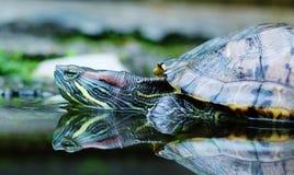 Tartaruga con il relfection Fotografia Stock Libera da Diritti