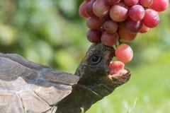 Tartaruga con l'uva aperta di cibo della bocca Fotografia Stock