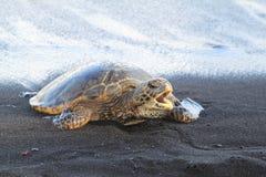 Tartaruga con la bocca aperta in spiaggia di sabbia nera Fotografia Stock