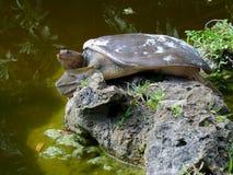 Tartaruga coperta di spine del softshell Fotografia Stock