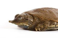 Tartaruga coperta di spine di Softshell del Hatchling - profilo lasciato Fotografie Stock