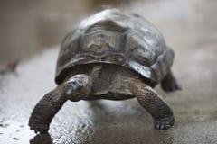 Tartaruga corrente del bambino Immagine Stock Libera da Diritti