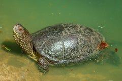 Tartaruga d'acqua dolce in acqua fotografia stock
