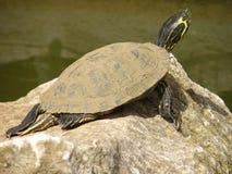 Tartaruga d'acqua dolce che Basking al sole Fotografia Stock
