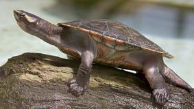 Tartaruga d'acqua dolce del fiume Immagini Stock Libere da Diritti