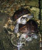 Tartaruga d'acqua dolce eared rossa Immagine Stock