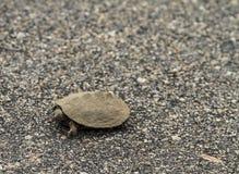 Tartaruga d'acqua dolce molto piccola Immagini Stock