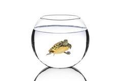 Tartaruga da água em uma bacia fotos de stock