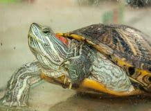 Tartaruga da água fresca Fotos de Stock