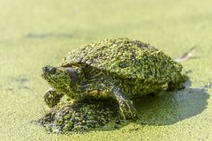 A tartaruga da água senta-se com a lentilha-d'água coberta em uma pedra foto de stock