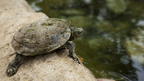 Tartaruga da acqua Fotografia Stock