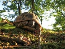 Tartaruga da floresta Fotografia de Stock Royalty Free