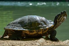 A tartaruga da lagoa de Balcãs ou tartaruga Cáspio ocidental, rivulata de Mauremys, descansando ao lado do rio no shunshine na mo imagens de stock royalty free
