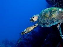 Tartaruga da natação Fotografia de Stock