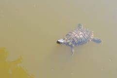Tartaruga da natação imagem de stock