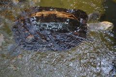 Tartaruga da natação em uma lagoa Fotos de Stock