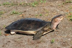 Tartaruga dal guscio tenero Fotografia Stock