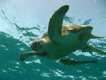 Tartaruga de água doce Foto de Stock Royalty Free