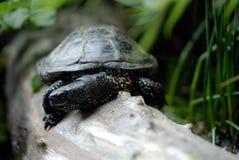 Tartaruga de água doce européia foto de stock