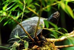 Tartaruga de água doce européia da lagoa foto de stock royalty free