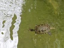 Tartaruga de água doce no fosso em torno do coreto em Tavira Fotografia de Stock Royalty Free