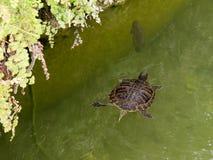Tartaruga de água doce no fosso em torno do coreto em Tavira Imagens de Stock