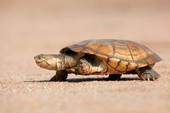 Tartaruga de água doce protegida com capacete imagem de stock royalty free