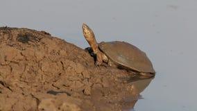 Tartaruga de água doce protegida com capacete vídeos de arquivo