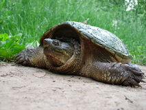 Tartaruga de agarramento Fotografia de Stock Royalty Free
