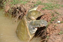Tartaruga de agarramento Imagem de Stock