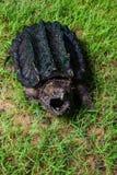 Tartaruga de agarramento do jacaré foto de stock