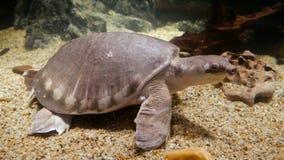Tartaruga de agarramento, tartaruga Macio-descascada filme