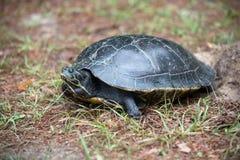 Tartaruga de agarramento que coloca seus ovos Fotografia de Stock