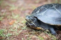 Tartaruga de agarramento que coloca seus ovos Imagens de Stock