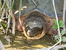 Tartaruga de agarramento (serpentina do Chelydra) Fotografia de Stock Royalty Free